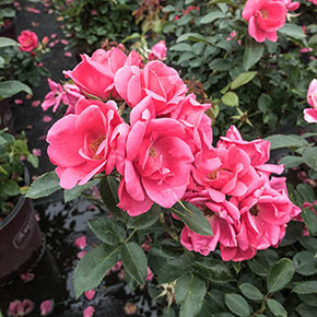 Flamingo Kolorscape® Rose