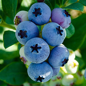 Elliot Blueberry Hedge