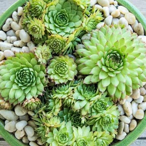 Sunset Hens and Chicks