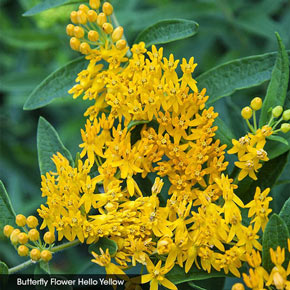 Native Milkweed Selections