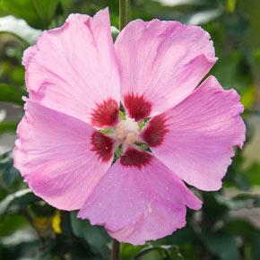 Aphrodite Hibiscus Shrub