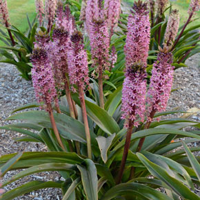 African Night Eucomis