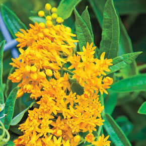 Hello Yellow Asclepias