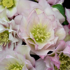 Flower Girl Lenten Rose