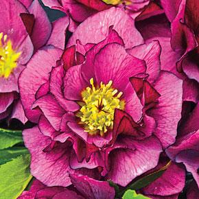 True Love Lenten Rose