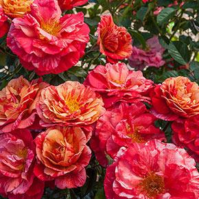 Frida Kahlo™ Floribunda Jumbo Rose