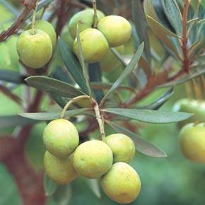 Mediterranean Olive