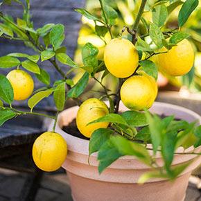 Meyer Lemon Tree Plant