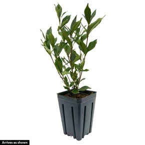 Grif's Select Hardy Gardenia