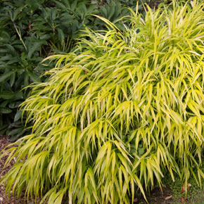 Gold Japanese Forest Grass