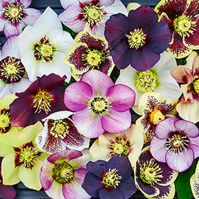 Honeymoon Series™ Mixed Lenten Rose