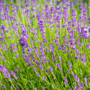 Blue Fragrant Lavender