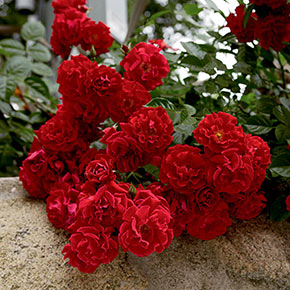 Red Ribbons Groundcover Rose