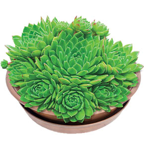 Green Wheel Hens and Chicks