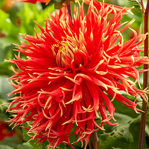 Show and Tell Dahlia