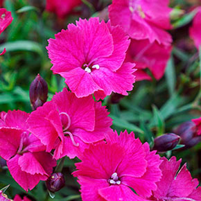 Vivid Bright Light Dianthus