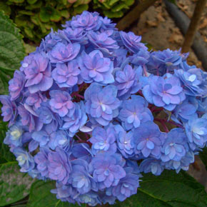 Together Forever and Ever<sup>®</sup> Hydrangea