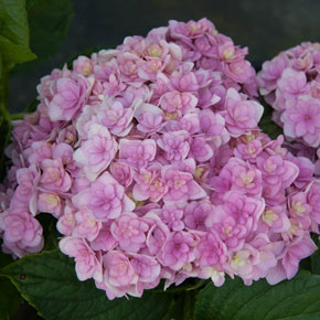 Forever and Ever® Together Hydrangea