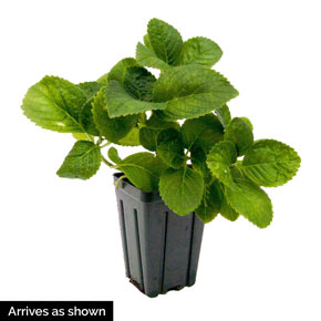 Peppermint Forever and Ever<sup>®</sup> Hydrangea