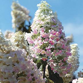 Frosty Cherry Hydrangea