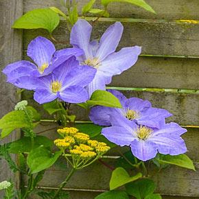 Success<sup>&reg;</sup> Lavender Clematis