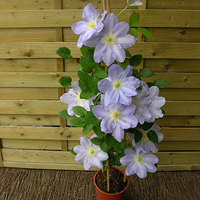 Success<sup>®</sup> Lavender Clematis
