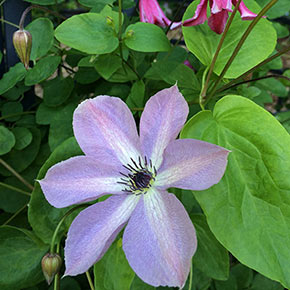 Fairy Dust Clematis