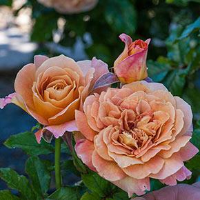 Rosie The Riveter™ Floribunda Rose