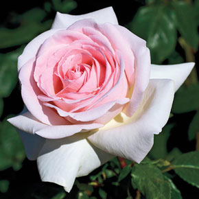 Francis Meilland<sup>®</sup> Hybrid Tea Rose