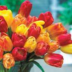 Montevideo Triumph Tulip