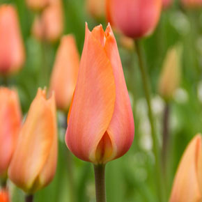 El Nino Single-Late Tulip
