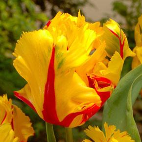 Texas Flame Parrot Tulip