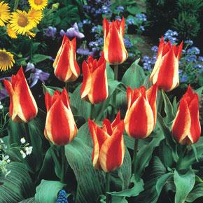 Pinnochio Greigii Tulip