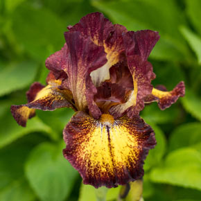 Red Hot Chili KickStart™ Reblooming Iris