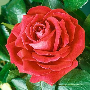 Tropicana Hybrid Tea Jumbo Rose