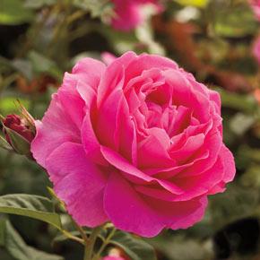 Grande Dame™ Hybrid Tea Jumbo Rose