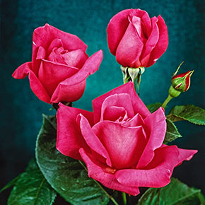 Miss All-American Beauty Hybrid Tea Jumbo Rose