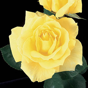 Mellow Yellow Hybrid Tea Jumbo Rose