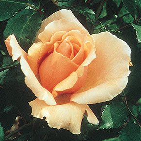 Just Joey Hybrid Tea Rose