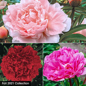 Classics for Cutting Peony Collection