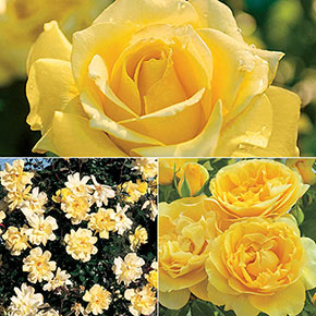 Yellow Jumbo Rose Sampler