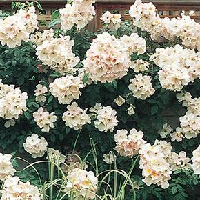 White Jumbo Rose Sampler