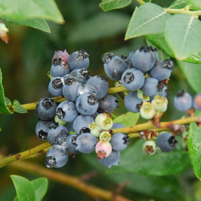 Blueberry Perpetua
