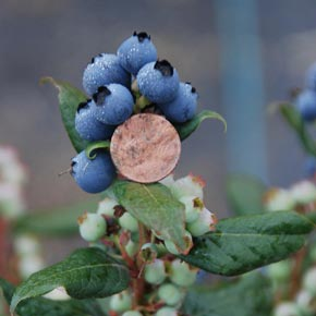 Blueberry Perpetua