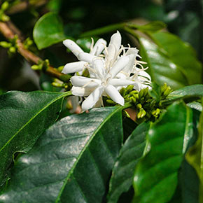 Dwarf Pacas Coffee Tree