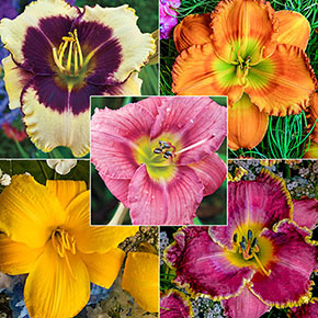 Reblooming Daylily Classic Collection