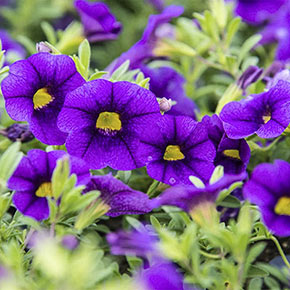 Hawaiian Luau Purple Calibrachoa