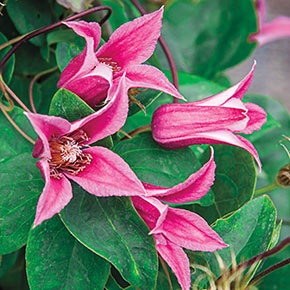 Clematis Duchess Of Albany