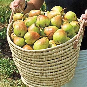 Crisp 'n Sweet™ Pear