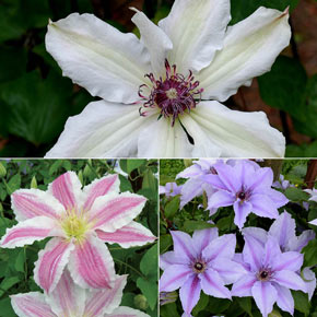 Carnival Spirit Clematis Collection